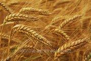 Продам зерновые и масличные культуры
